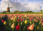 Holland                       (Nederland), tulip field with windmill